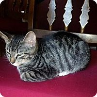 Adopt A Pet :: zz 'Mitten's Kitten, Tony'  courtesy post - Cincinnati, OH