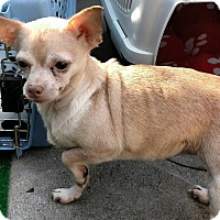 Adopt A Pet :: Honna - San Diego, CA
