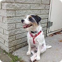 Jack Russell Terrier Dog for adoption in Columbia, Tennessee - Polly/KY
