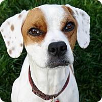 Adopt A Pet :: Maya - 42 lbs. - Yorba Linda, CA