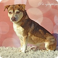 Beagle/Chihuahua Mix Dog for adoption in Las Vegas, Nevada - George
