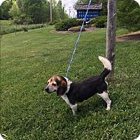 Adopt A Pet :: Finnegan (POM-BS) - Hagerstown, MD