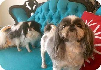 Shih Tzu Dog for adoption in Chicago, Illinois - Sage and Yoshi