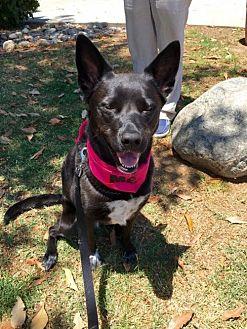 Australian Cattle Dog Mix Dog for adoption in San Diego, California - Julia