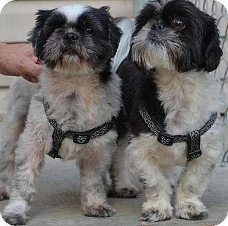 Shih Tzu Mix Dog for adoption in Kansas City, Missouri - Riley