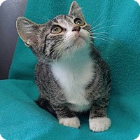 Adopt A Pet :: Bellini - Addison, IL