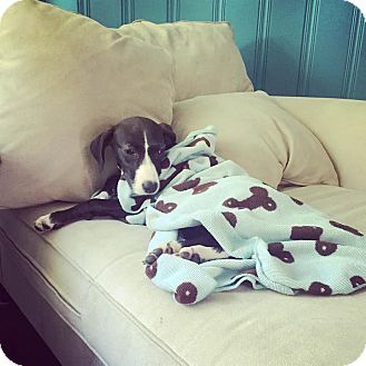 Labrador Retriever Mix Puppy for adoption in Milton, New York - Frannie