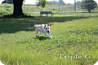 Labrador Retriever Mix Dog for adoption in Texarkana, Arkansas - Triple G