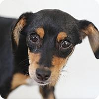 Adopt A Pet :: Willow - Berkeley, CA