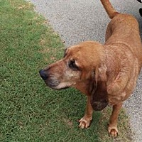 Bloodhound Dog for adoption in Fayetteville, Arkansas - Boomer
