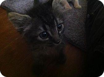 Domestic Shorthair Kitten for adoption in San Antonio, Texas - A394034 Onyx