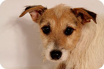 Jack Russell Terrier Mix Dog for adoption in St. Louis, Missouri - Torrie JR