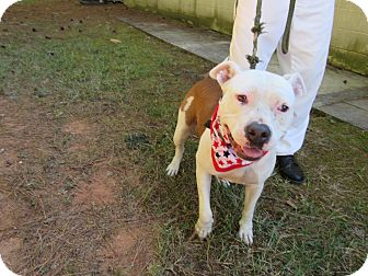 Bulldog Mix Dog for adoption in Rome, Georgia - 16D-1512 (10/9)