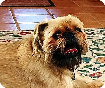 Brussels Griffon Dog for adoption in New Canaan, Connecticut - JOCK in Old Saybrook, CT