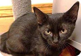 Abyssinian Kitten for adoption in York, Pennsylvania - Jeffrey