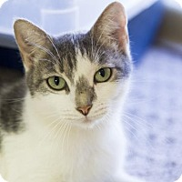 Adopt A Pet :: Ginger Spice - Kettering, OH