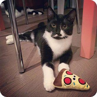 Domestic Shorthair Kitten for adoption in Toronto, Ontario - Riff