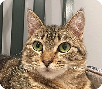 Domestic Shorthair Cat for adoption in Lafayette, New Jersey - Bambi