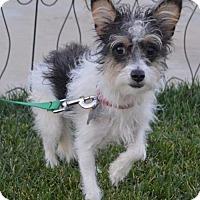 Yorkie, Yorkshire Terrier/Papillon Mix Dog for adoption in Palo Alto, California - Bunny