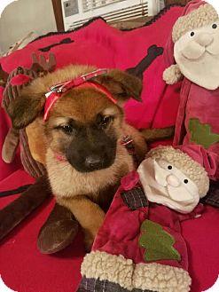 German Shepherd Dog/Rottweiler Mix Puppy for adoption in Detroit, Michigan - Redda-Pending!
