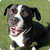 Adopt A Pet :: Bodacious Bodie - Richmond, CA