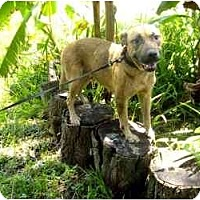 Labrador Retriever/German Shepherd Dog Mix Dog for adoption in Orlando, Florida - C.J.