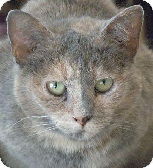Domestic Shorthair Cat for adoption in Jacksonville, North Carolina - Lucinda