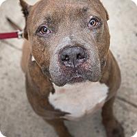 Adopt A Pet :: Big Pun - Brooklyn, NY