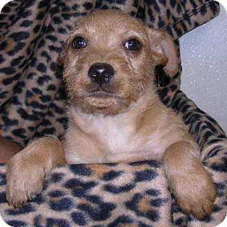 Terrier (Unknown Type, Medium) Mix Dog for adoption in Yucaipa, California - Rosie Boy 4