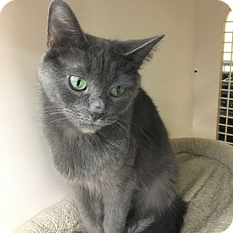 Domestic Shorthair Cat for adoption in Warren, Michigan - Mystery