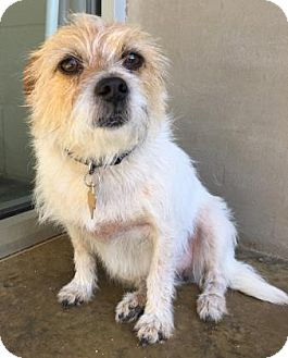Fox Terrier (Wirehaired) Mix Dog for adoption in Fredericksburg, Texas - Schatzi