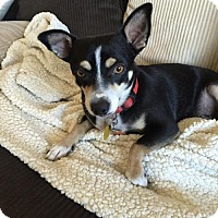 Adopt A Pet :: Buster (Chi X) - Denver, CO