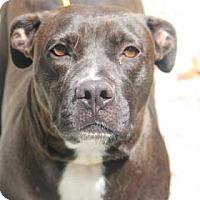Pit Bull Terrier Mix Dog for adoption in Greensboro, North Carolina - CeCe