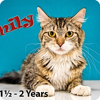 Domestic Mediumhair Cat for adoption in Chandler, Arizona - Emily