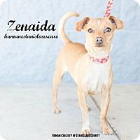 Adopt A Pet :: Zenaida - Modesto, CA