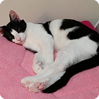 Domestic Shorthair Kitten for adoption in Cleveland, Ohio - Beamer