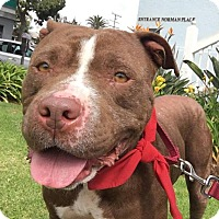 Pit Bull Terrier Mix Dog for adoption in Los Angeles, California - BAILEY