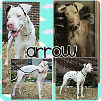 Adopt A Pet :: Arrow - Lubbock, TX