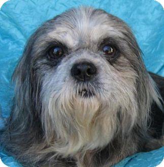 Shih Tzu/Terrier (Unknown Type, Medium) Mix Dog for adoption in Cuba, New York - Sharona Bassett Buddy