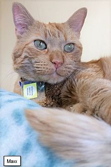 Domestic Shorthair Cat for adoption in Lakewood, Colorado - Maxx