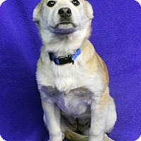 Adopt A Pet :: BEVERLY - Westminster, CO