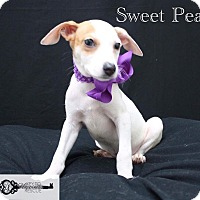 Shepherd (Unknown Type) Mix Puppy for adoption in DeForest, Wisconsin - Sweat Pea