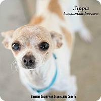 Adopt A Pet :: Tippie - Modesto, CA