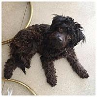 Adopt A Pet :: JOEY - Glendale, CA