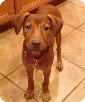 Pit Bull Puppy Training Tips And Dog Breed Information ...