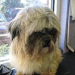 Photo 2 - Shih Tzu Dog for adoption in Rock Hill, South Carolina - Ewok