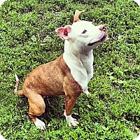 American Pit Bull Terrier/Pit Bull Terrier Mix Dog for adoption in Warrenville, Illinois - Laila