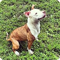 Adopt A Pet :: Laila - Warrenville, IL