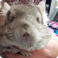 Chinchilla for adoption in Patchogue, New York - Pickles