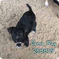 Adopt A Pet :: CAMO RAY - Conroe, TX
